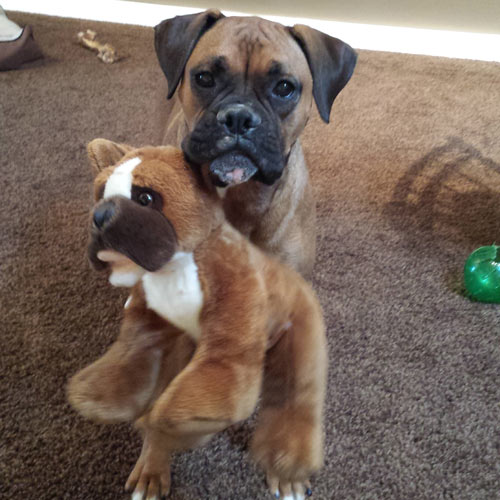 Android Developer Annmarie Ziegle's Boxer Phoebe poses with a doppelganger.